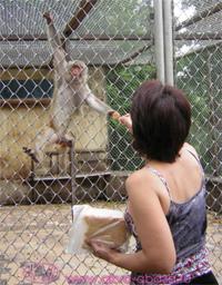 sukhum_monkey_s_2